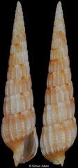 Terebra mindanaoensis (Philippines, 21,3mm)