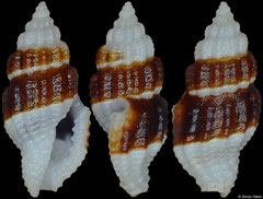 Hemilienardia infulabrunnea (Philippines, 5,5mm)