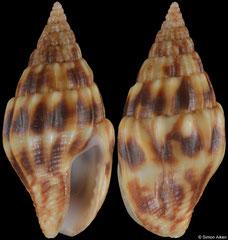 Anachis decimdentata (Pacific Mexico, 14,9mm)