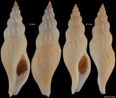 Manaria fusiformis (Guadeloupe)