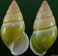 Amphidromus severnsi anhi (Vietnam, 34,2mm)