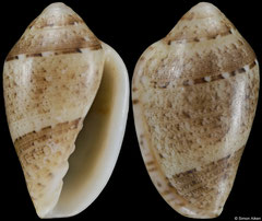 Marginella walleceorum (South Africa, 11,3mm) F+/F++ €7.50 (specimens for sale are 11mm and are of the same quality as the specimen illustrated)