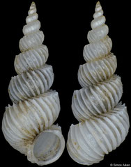 Epitonium kastoroae (Philippines, 8,2mm)