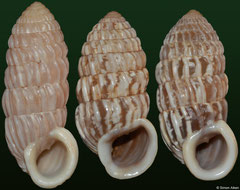 Cerion banesense (Cuba, 27,8mm, 25,0mm, 25,4mm) F+++ €6.00 (specimens for sale are 25-27mm and are of the same quality as the specimens illustrated)