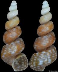 Callostracum gracile (Senegal, 8,0mm)