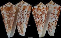 Conus lemniscatus (Brazil, 41,1mm, 41,2mm) F++ €15.00