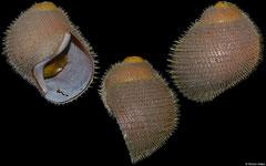 Alviniconcha hessleri (Mariana Back-Arc Basin, 46,0mm)