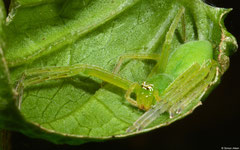 Huntsman spider (Olios sp.), Balut Island, Philippines