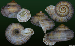 Arenabbottella wilhelmi (Dominican Republic, 8,6mm)
