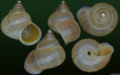 Annularisca arquesi (Cuba, 13,7mm)