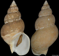 Buccinum bayani aniwanum (Japan, 128,3mm)
