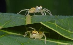 Jumping spider (Salticidae sp.), Samal Island, Philippines