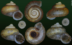 Abbottella urbana (Dominican Republic, 5,7mm, 6,4mm, 5,8mm, 6,7mm) F+++ €7.00 (specimens for sale are 5-6mm and are of the same quality as the specimens illustrated)
