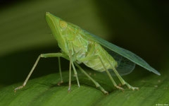 Planthopper (Dictyophara sp.), Balut Island, Philippines