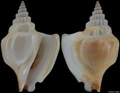 Dolomena labiosa form 'teschi' (Thailand, 33,8mm)