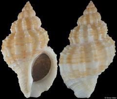 Hesperisternia shaskyi (Pacific Panama, 46,4mm)