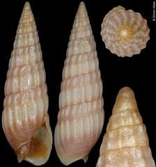 Partecosta aff. herosae (South Africa, 9,3mm)