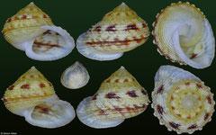 Eutrochatella tankervillei (Jamaica, 16,3mm, 16,7mm)
