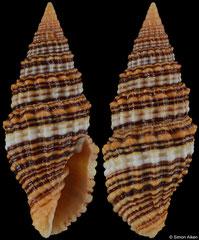 Vexillum crocatum (Madagascar, 32,9mm)