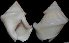 Nassarius arcularius (freak) (Philippines, 22mm)