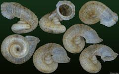 Rolleia sp. nov. (hyperstrophic) (Dominican Republic, 8,2mm)