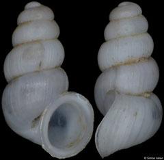 Plagigeyeria konjicensis (Bosnia-Herzegovina, 1,8mm) (paratype)