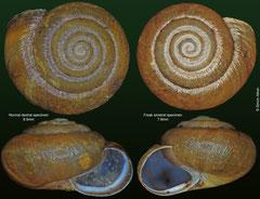 Trichia hispida (normal and sinistral freak) (England)