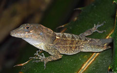 Large-headed anole (Anolis cybotes), La Cumbre, Dominican Republic