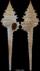 Columbarium hystriculum (Queensland, Australia, 68,5mm)