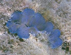 Tridacna squamosus (New Georgia, Solomon Islands)