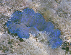 Tridacna squamosus (New Georgia, Solomon Islands)