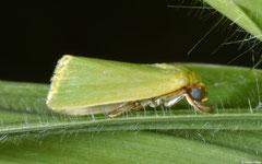 Nollid moth (Earias clorana), Broome, Western Australia