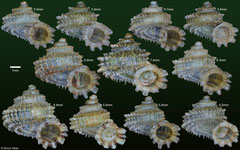 Abbottella abbotti (Dominican Republic) F+++ €24.00 (5-6mm specimens) or €30.00 (7-8mm specimens)