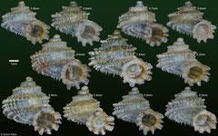 Abbottipoma abbotti (Dominican Republic) F+++ €24.00 (5-6mm specimens) or €30.00 (7-8mm specimens)