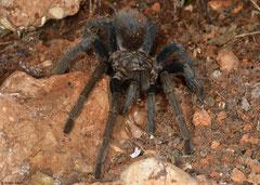 Haitian brown tarantula (Phormictopus cancerides), Manuel Goya, Pedernales peninsula, Dominican Republic