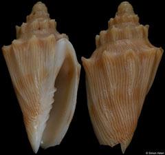 Nannamoria parabola (New South Wales, Australia, 31,3mm)