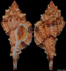 Siratus consuela (Brazil, 42,4mm)