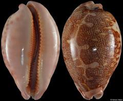 Cypraea mappa form 'aliwalensis' (South Africa, 70,6mm) F++ €70.00