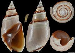 Bullia callosa (South Africa, 28,4mm)