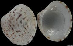 Circenita callipyga (Qatar, 29,3mm)