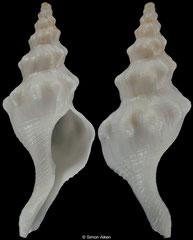 Euthria cumulata (New Caledonia, 42,8mm) F+ €36.00