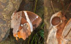 Tufted jungleking (Thauria aliris), Pla Lang, Krabi, Thailand
