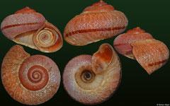 Cycladamsia seminuda (Jamaica, 29,2mm)