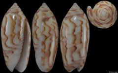 Oliva panniculata colour form 'williamsi' (Madagascar, 15,0mm)