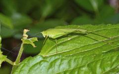Katydid (Tettigoniidae sp.), Siquijor, Philippines