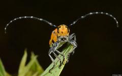 Longhorn beetle (Cerambycidae sp.), Broome, Western Australia