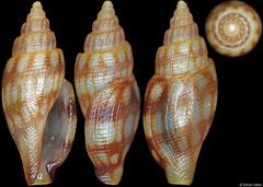 Daphnella canaliculata (Philippines, 7,7mm)