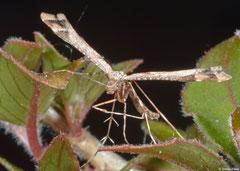 Beautiful plume moth (Amblyptilia acanthadactyla), York, UK