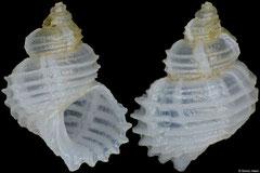 Conradia cingulifera (Philippines, 5,2mm)