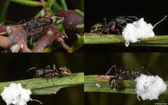 Ants (Formicidae sp.), Perth, Western Australia